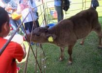 190406子牛の哺乳体験