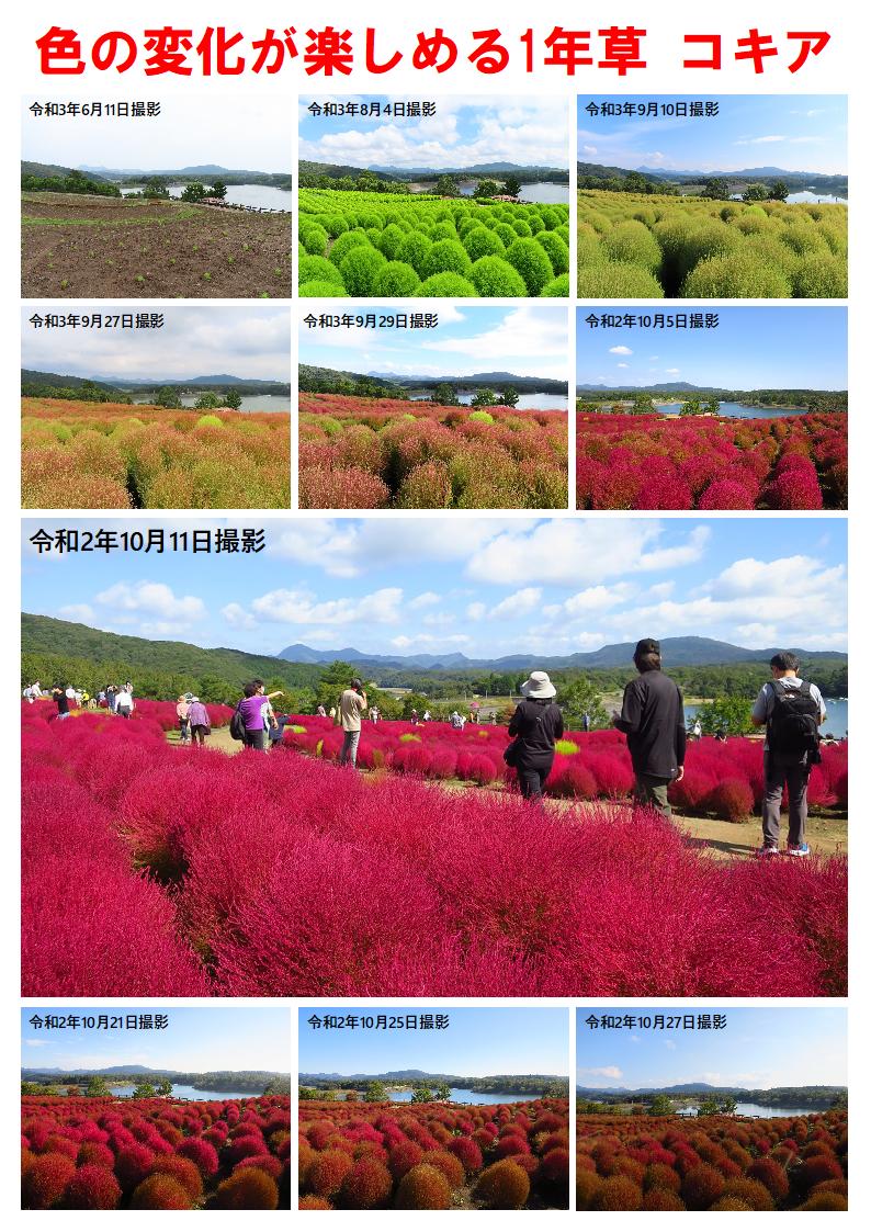 21.09色の変化が楽しめる1年草コキアA4